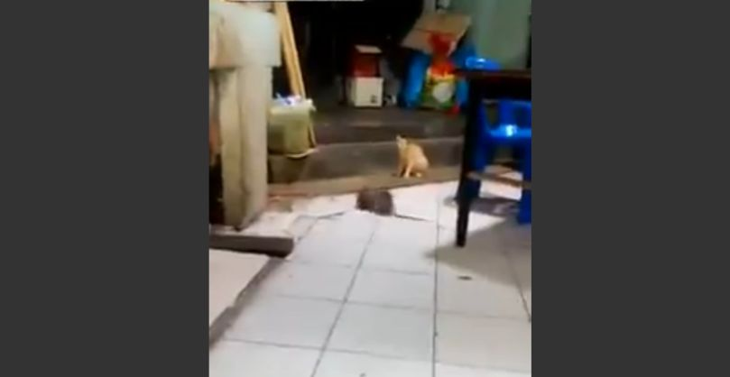巨大ネズミが喧嘩!それをじっと見つめるネコ
