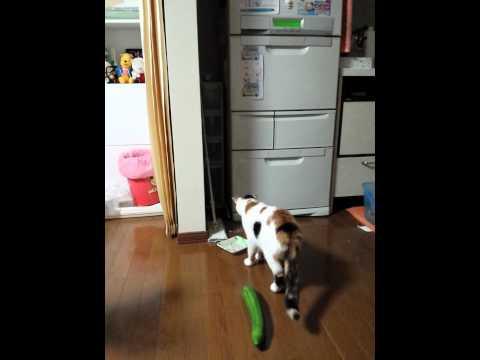 きゅうりを見て猫がビックリする姿が面白いw