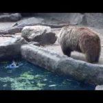 水に落ちたカラスを救ったカッコイイ熊が話題