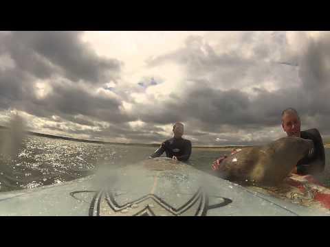 驚愕!アザラシと一緒にサーフィンをする男性